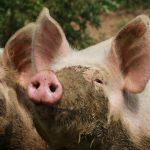 Op een boerderijcamping horen varkens, lekker onder de modder