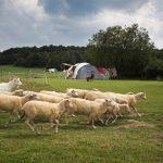 Een kudde schapen rent over het kampeerveld