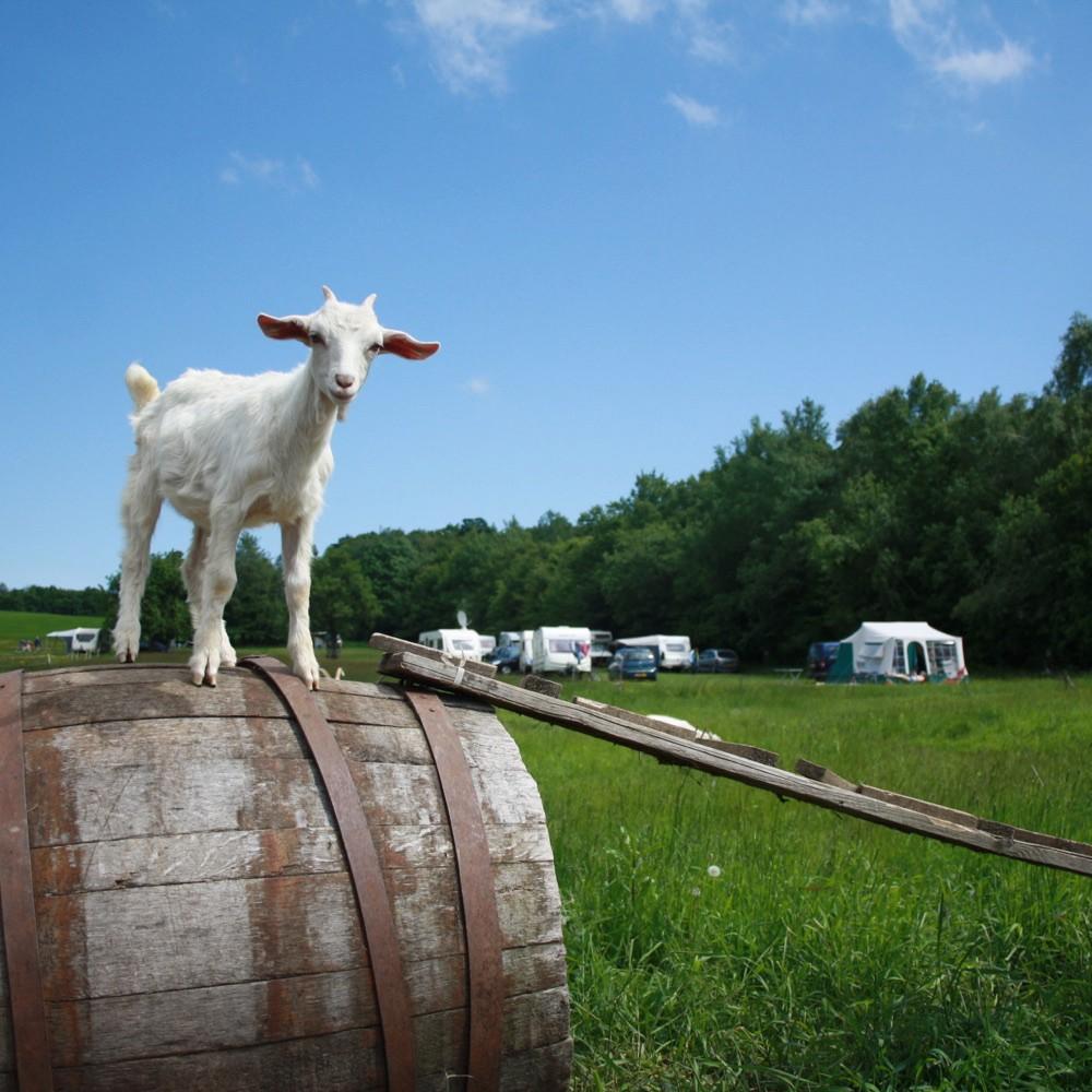 Een wit geitje op een wijnvat op een kampeerveld