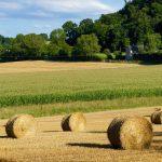 Een korenveld met rollen stro en daarachter een maisveld