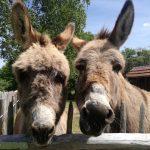 Close up van twee ezels met wollige haren