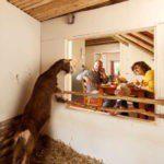 Een geitje kijkt door het raam naar een gezin aan de ontbijttafel