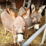 Knuffel ezels bij Natuurkampeerterrein de Duiventoren