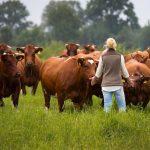 Een kudde brandrode runderen in een weiland