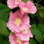 Close up van een rose stokroos