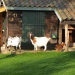Twee geitjes voor hun huisje in de dierenweide.