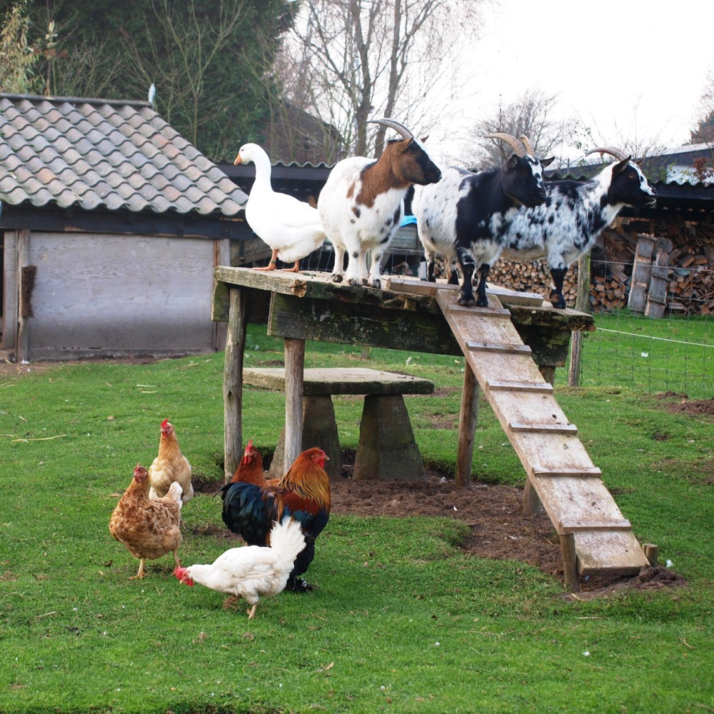 Eenden, geitjes en kippen in de dierenweide.