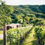Tussen de wijngaard door zie je de twee blokhutten in het groen.