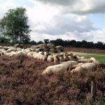 Een kudde schaapjes op de hei met een Hunebed op de achtergrond
