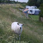 Een schaap op de dijk en caravans in het gras