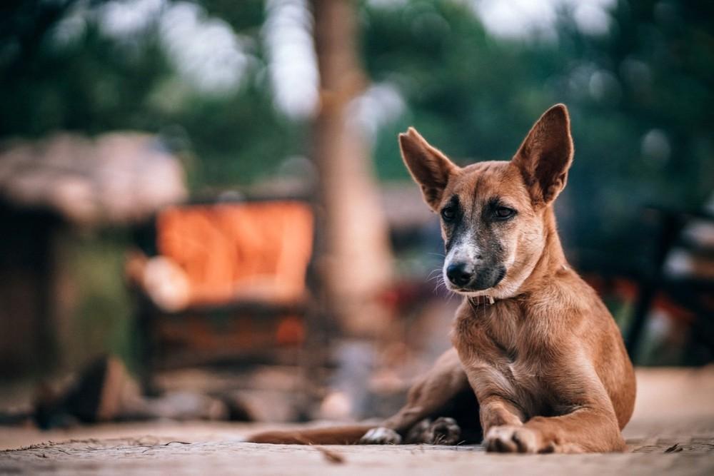 Een bruine hond liggend op de grond