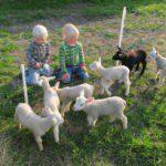 Twee blonde jongens zitten bij het hek voor de lammetjes.