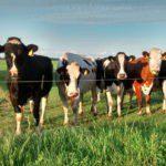 Vier bonte koeien op een rij in de wei, die in de camera kijken.